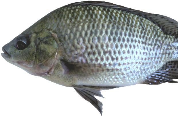 Capa-rodape-Tilapia